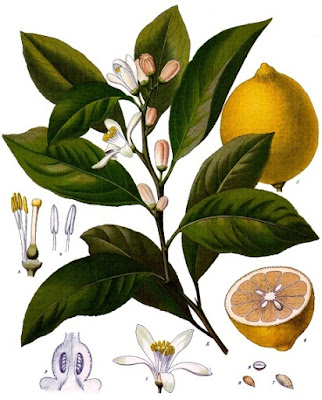 Botanical illustration of a lemon tree