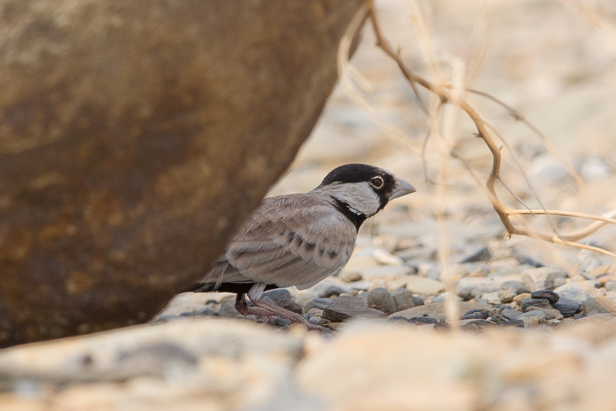Black-crowned Sparrow-Lark