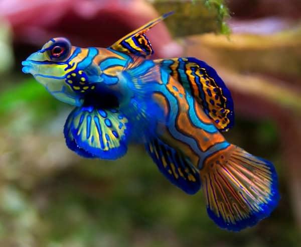 Peixe Mandarim - Os 10 Peixes mais bonitos do Mundo