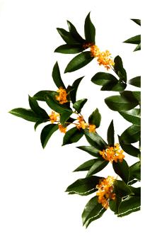 Folhas e flores de laranjeira