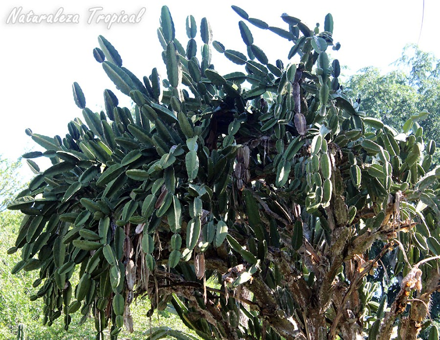 El Aguacate Cimarrón es una especie arborícola cubana considerada como el cactus con los frutos más grandes del mundo. Dendrocereus nudiflorus