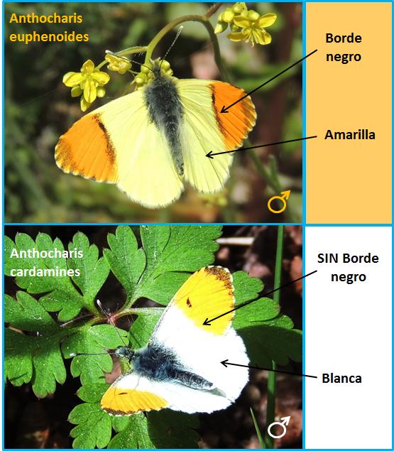 Diferencias entre machos de Anthocharis euphenoides y cardamines