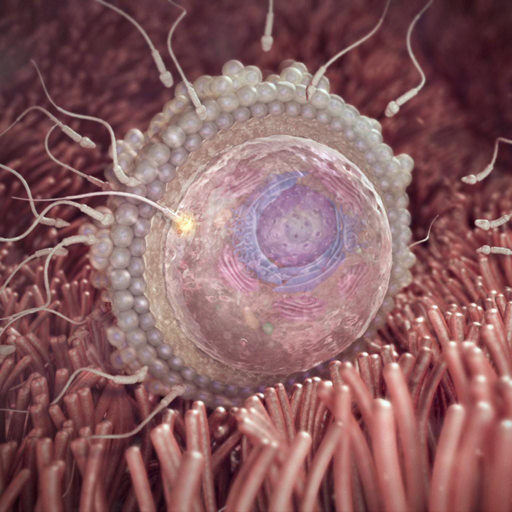 Hình ảnh minh họa về quá trình thụ tinh.