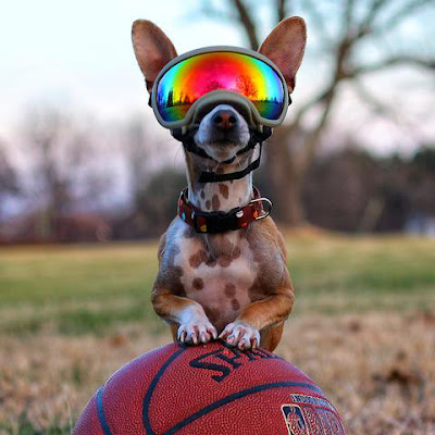 Chihuahua wears Rex Specs dog sunglasses with front paws on a football