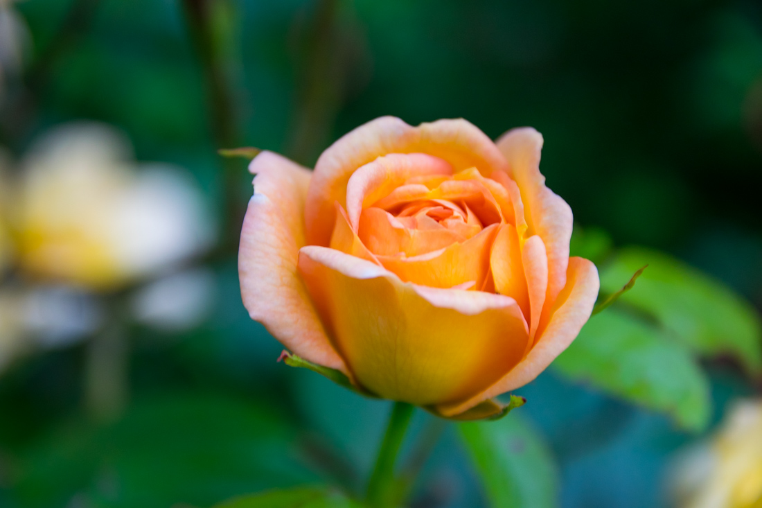 Orange Rose, Macro Photography, Dunraven Castle and Gardens