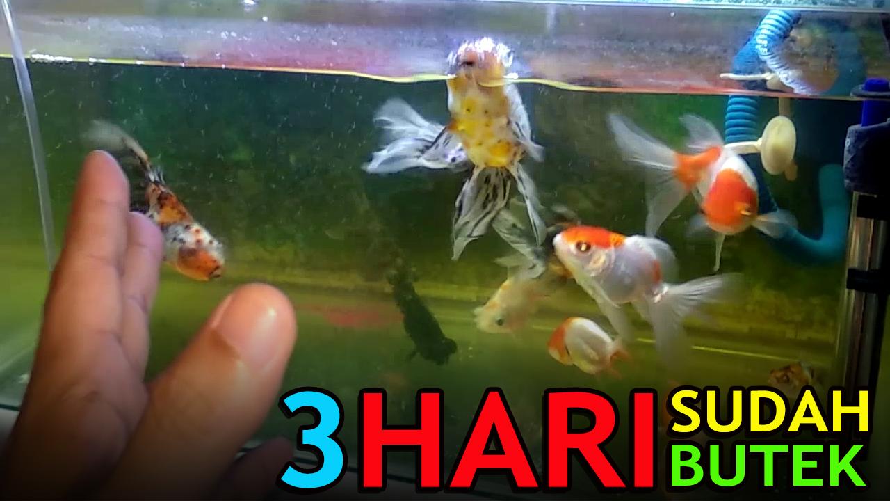 3 Hari Air Di Aquarium Ikan Mas Koki Sudah Butek Keruh Wajarkah