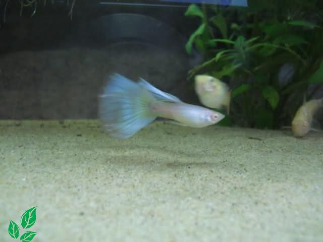 Jenis Guppy Blue Moscow Albino