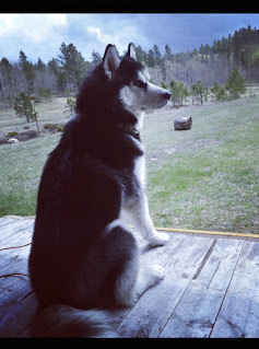 Ullr the husky pup sitting on wood slab porch looking out at meadow and pine trees.