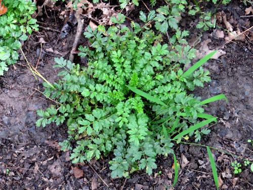 rosette of basal leaves