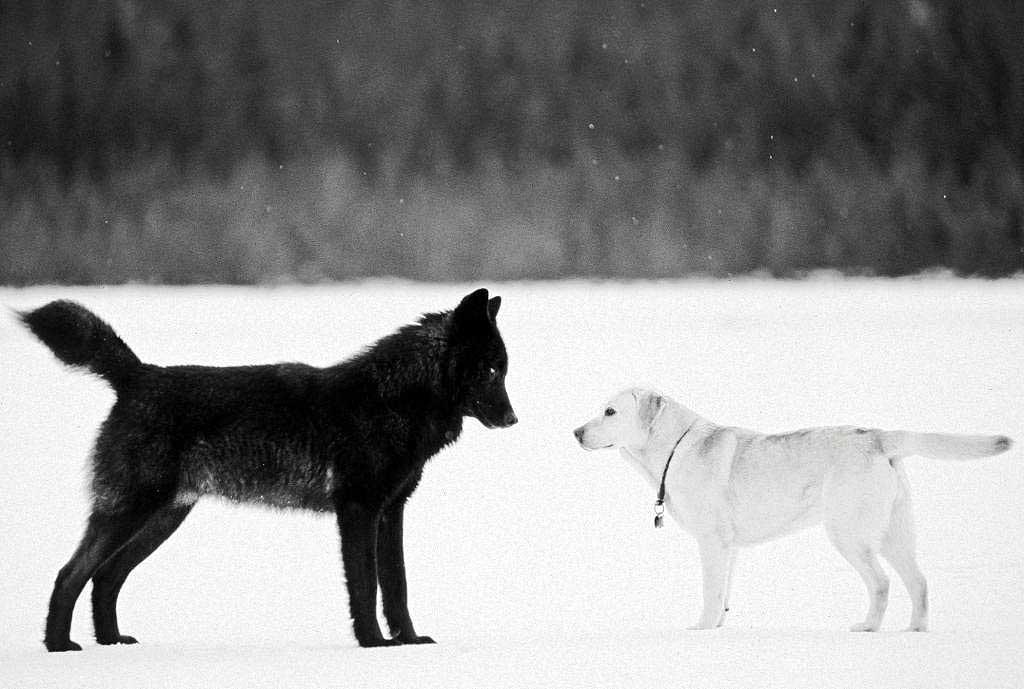 EL ANIMAL INVISIBLE: Simbolismo animal y lobos negros. Nick Jans y ...