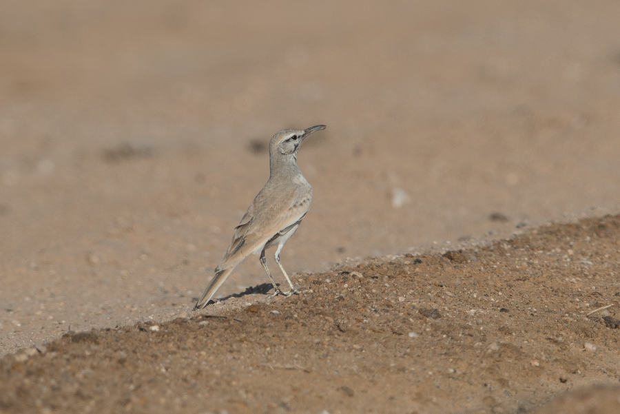 Greater Hoopoe Lark