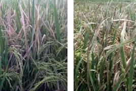 Obat penyakit hawar daun untuk tanaman padi