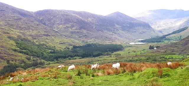 Vaeltaminen irlannissa, vaeltaminen, irlanti, killarney, cap of dunloe, vuoristo, karut maisemat, lammas