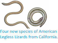 https://sciencythoughts.blogspot.com/2013/12/four-new-species-of-american-legless.html