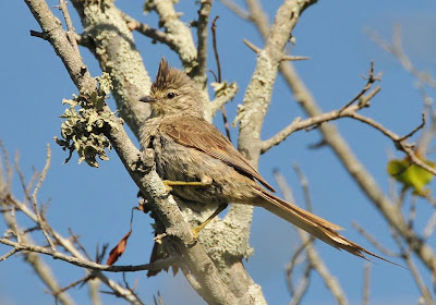 Tufted Tit Spinetail