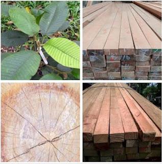 Kekurangan dan kelebihan kayu kruing