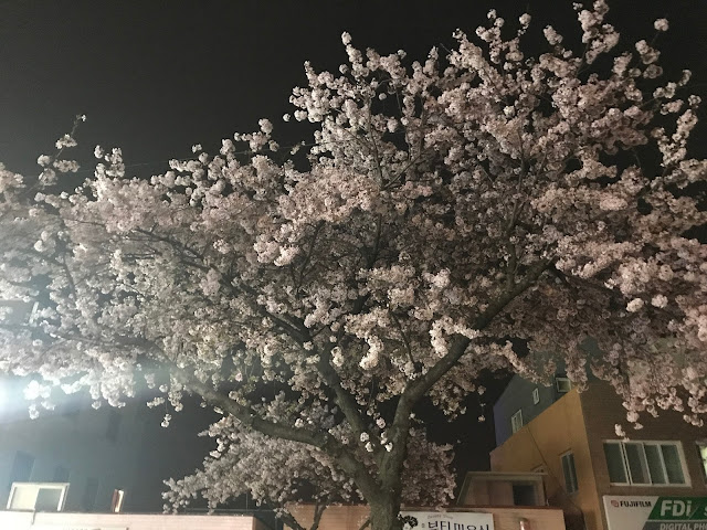 cherry blossoms jejudo