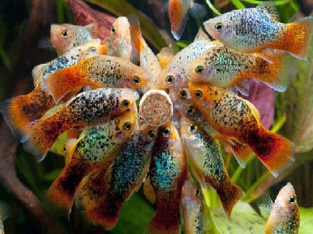 Jenis Ikan Hias Mudah Berkembang Biak Platis