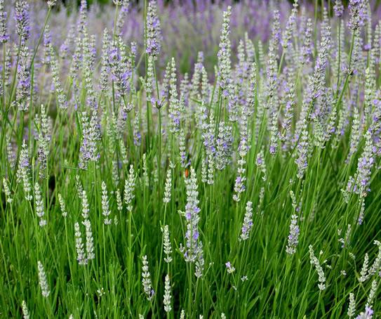 Grass flowers - lavender