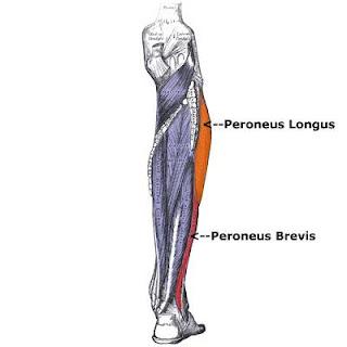 peroneus longus muscle, anatomy, muscle picture, fibularis longus