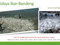 Panduan Terlengkap & Praktis 5 Langkah Dalam Budidaya Ikan Bandeng!