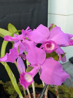 Guarianthe skinneri - Cattleya skinneri - Cultivar : Heiti Jacobs