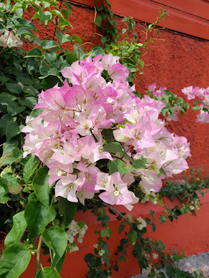 Cluster of bougainvillea flowers against wall