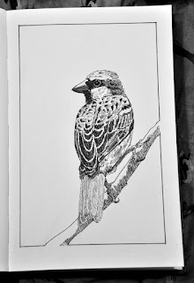 House sparrow ink drawing