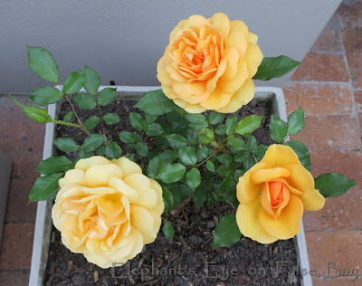 South Africa rose opening from orange to yellow