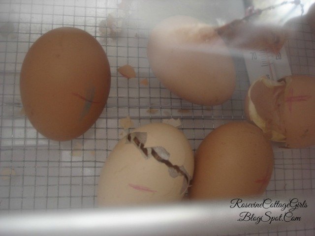 #chickens #hatching #hatchingchickens #eggs