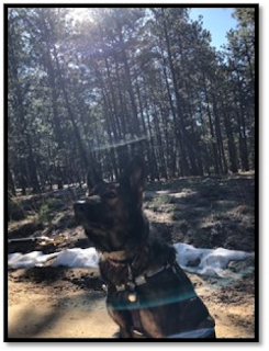 Guide dog German Shepherd Onyx sitting on the trail in Black Forest Colorado with the sun shining through the tall trees in the background. Picture taken using Aira.