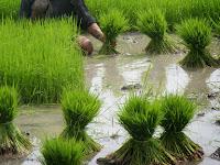6 Tahapan Praktis Cara Menanam Padi Untuk Petani Pemula