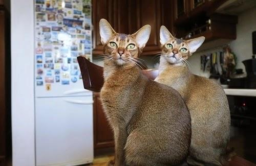 كل المعلومات عن القط الحبشي