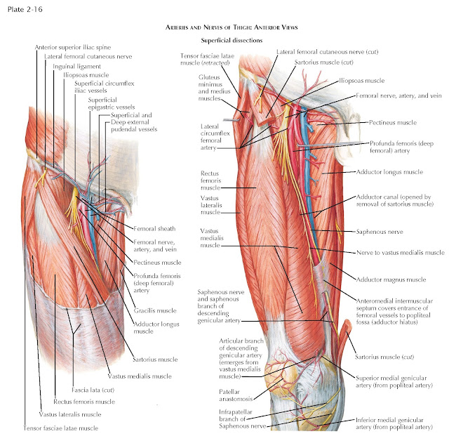 ARTERIES AND NERVES OF THIGH: ANTERIOR VIEWS