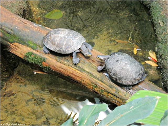 Selva Tropical del Biodôme: Tortuga de Cabeza Amarilla