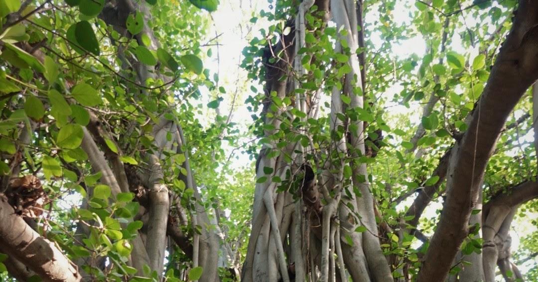 Akshayvat, Majhi, Lucknow/ Giant Banyan Tree Of Lucknow