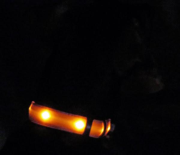 Cinnamon The Traveling Coonhound Night Walker Cinnamon