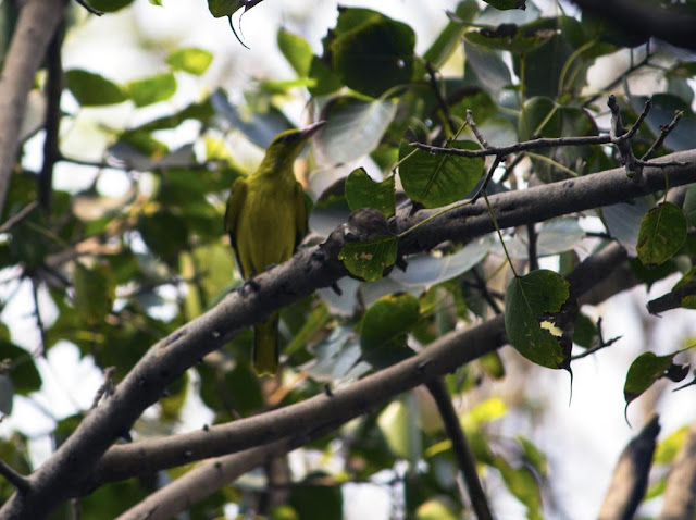 golden oriole female, bird, peepal tree, bandra east, mumbai, india, camouflaged,