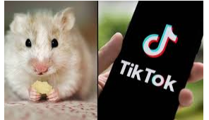 Hamster Tiktok Begini Cara Dapatkannya