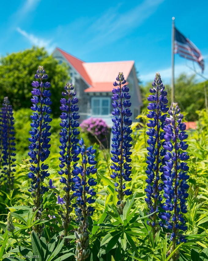 Portland, Maine USA June 2018 photo by Corey Templeton. Purples lupines enjoying the sea breeze on Peaks Island during summer.
