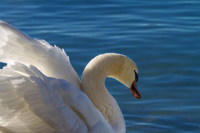 O Canto do Cisne