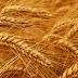 توقعات بارتفاع إنتاج مصر من القمح إلى 9 ملايين طن
