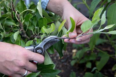 Cara Perbanyak Pohon Tabebuya Dengan Stek