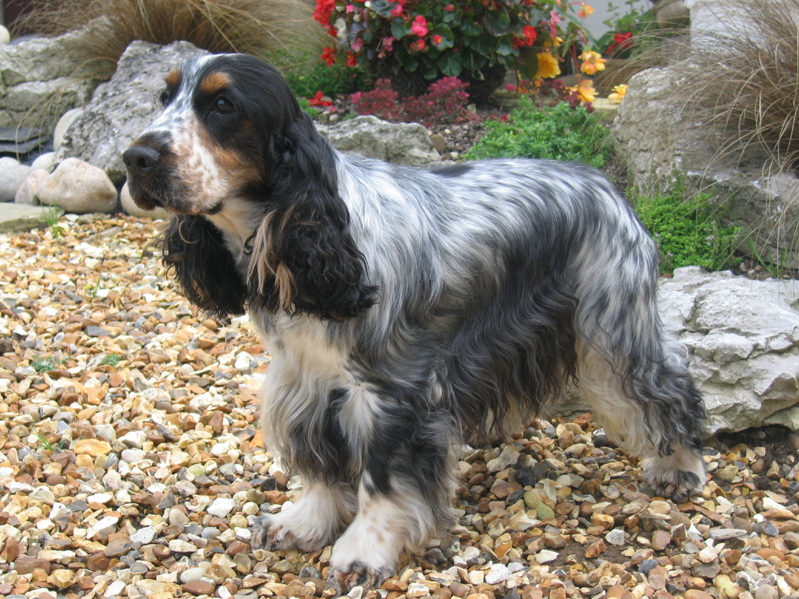 Er Spaniel Breed Profile