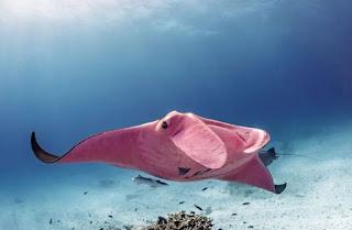 اغرب سمكة الشيطان البحر وردية اللون