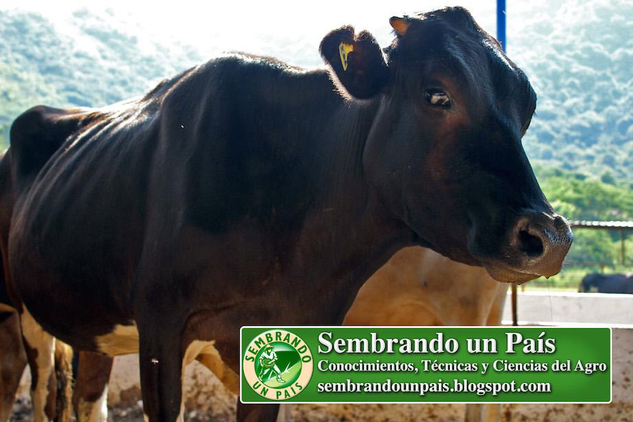 vaca raza Holstein