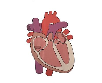 quintoBcervantesmora: Partes del corazón