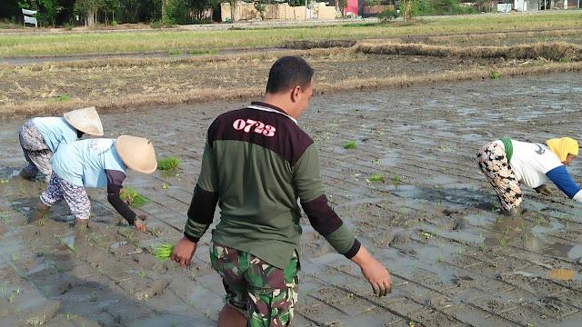 TNI Terjun Kesawah Bantu Petani
