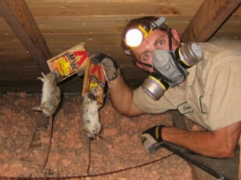 How do I get Rid of Rats in the Attic