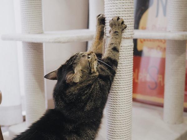 キャットタワーの支柱で爪とぎをしているキジトラ猫
